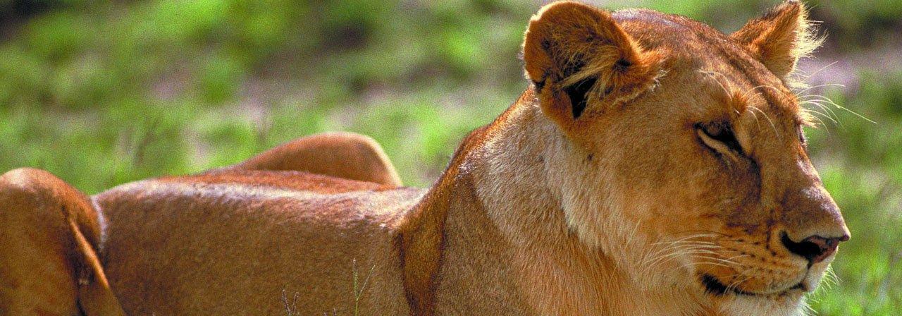 Löwin Serengeti