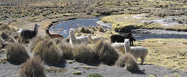 Lamas Anden